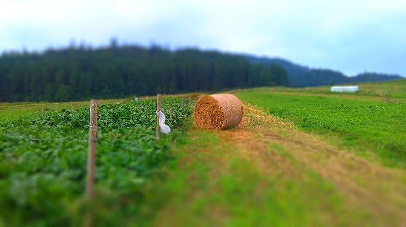 Szlak do Bacówki ze Sromowców Niżnych - pole i snop siana