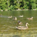 widok na Kaczki krzyżówki, które są jednymi z wielu zwierząt żyjących na i w Dunajcu