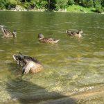 Widok na pływające kaczki krzyżówki - fauna Dunajca